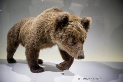 Le Muséum de Toulouse ne vend pas la peau de l'Ours