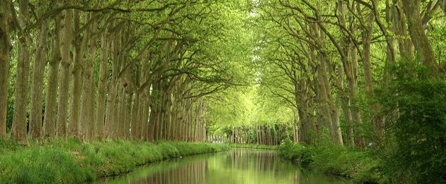 Ce qu'il faut savoir sur la maladie des platanes du Canal du Midi