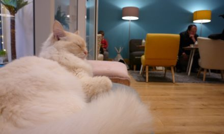 [Vidéo] Dans les coulisses du premier bar à chats de Toulouse