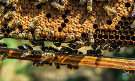 Abeilles en danger, des ruches pour alerter